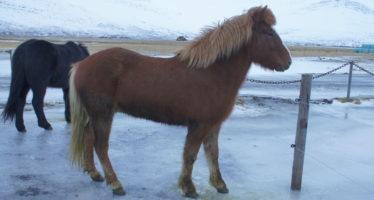 Nýr hestur á leiðinni austur