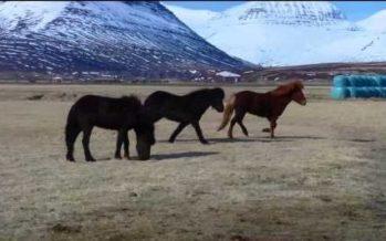 Hestaflutningar – Ábending