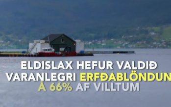 Ógn af laxeldi í sjó – Þrjú athyglisverð myndbönd